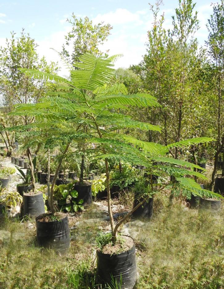 Acacia Roja/Flamboyan