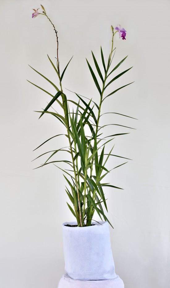 Orquidea Arundina