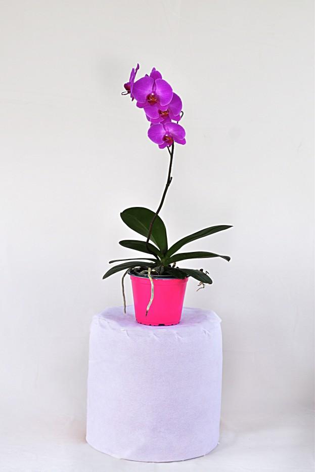 Orquidea Phalenopsis