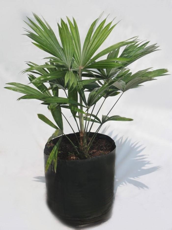 Palma livinstonia saribus
