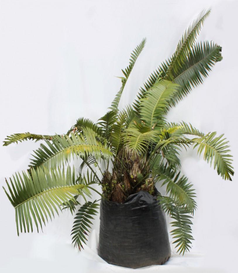 Palma Espinulosa