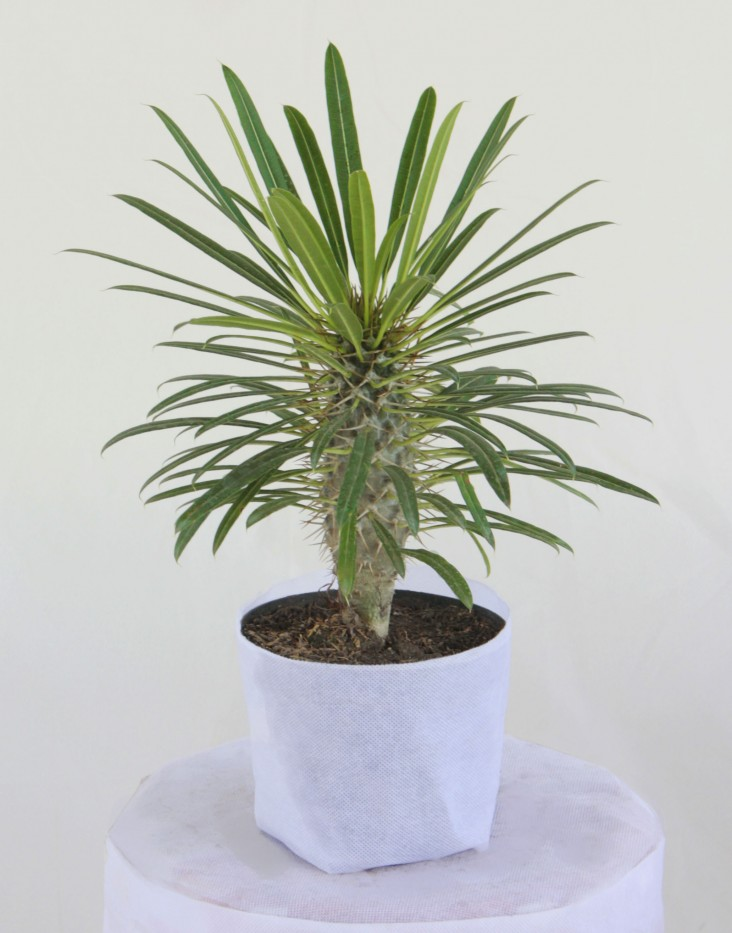 Palma Madagascar