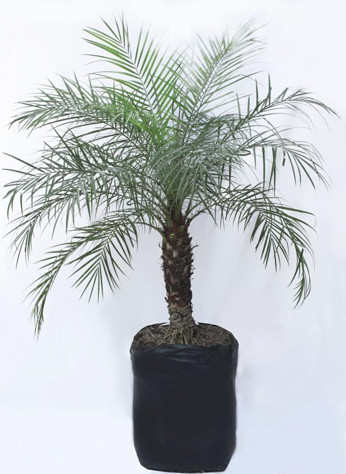 Palma RobellIne