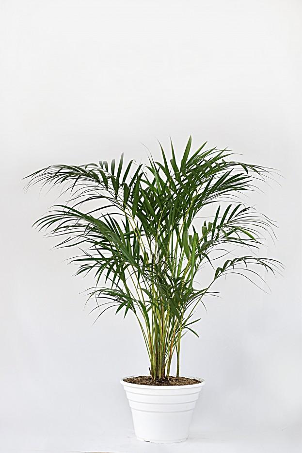 Palma Areca
