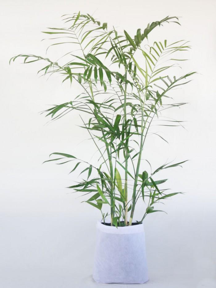 Palma Bambu