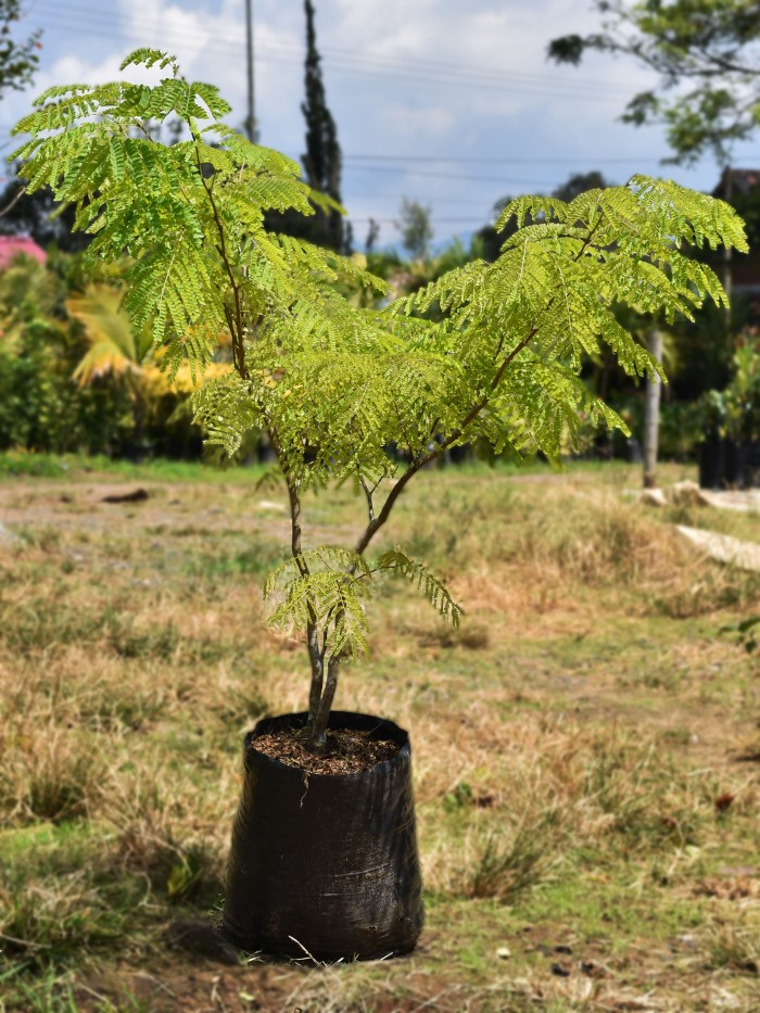 Acacia amarilla