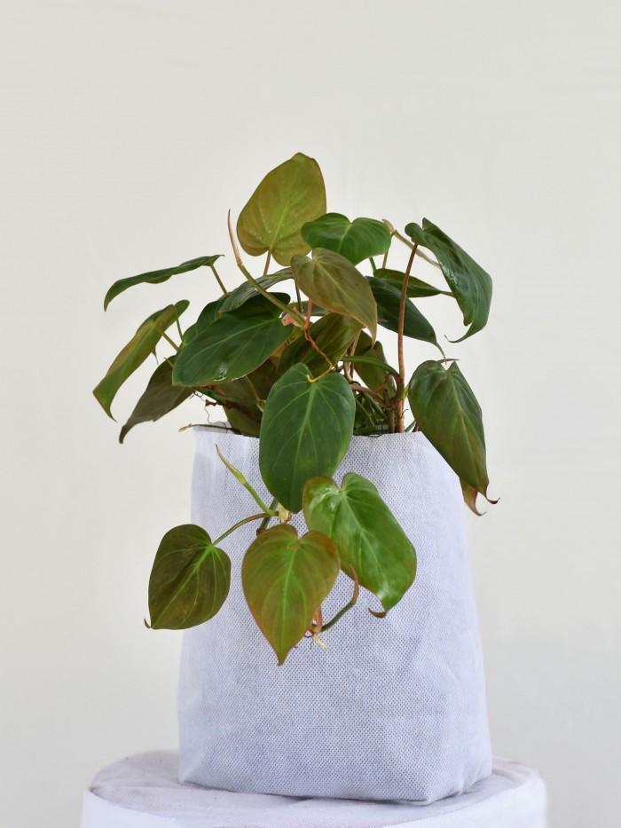 Filoendro Cordatum Verde