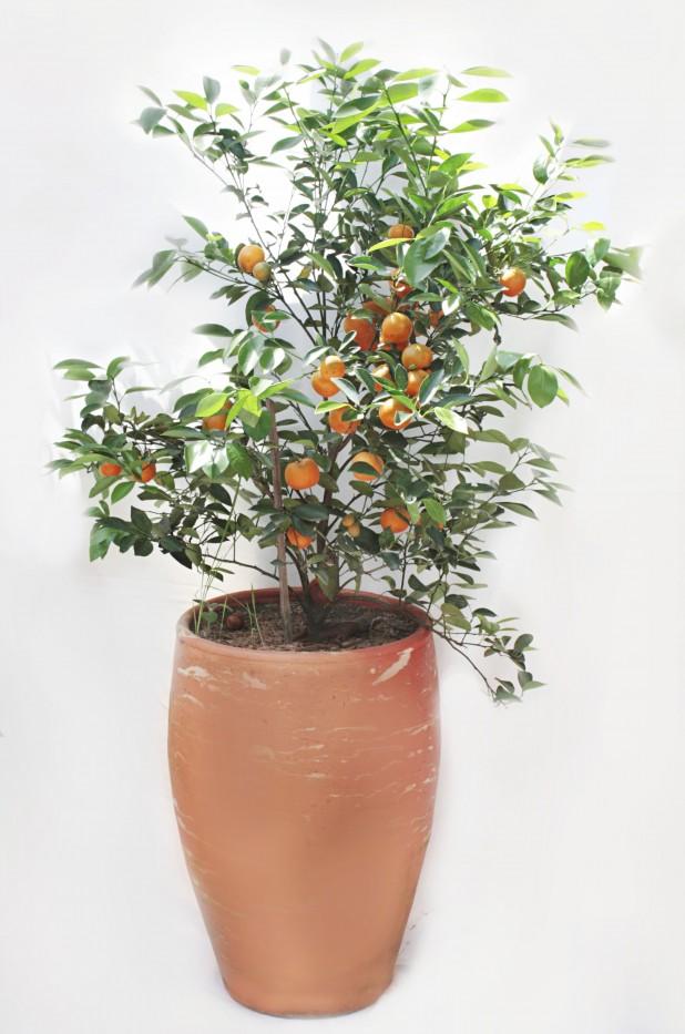 Mandarino Calamondi