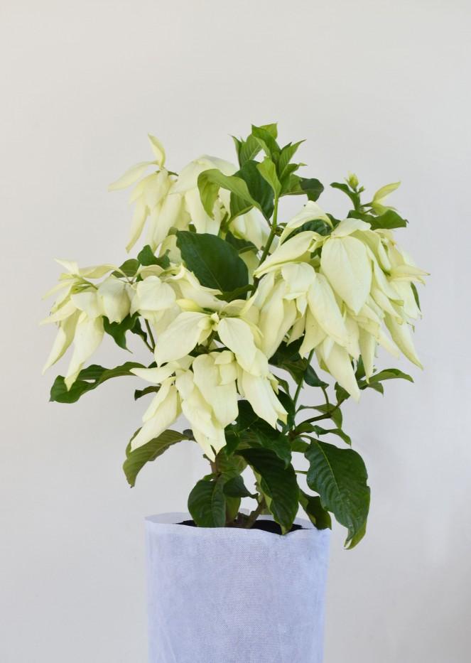 Musaenda Blanca
