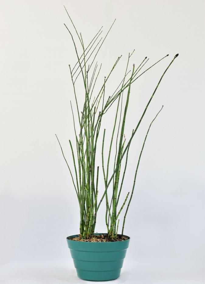 Papiro Bambu