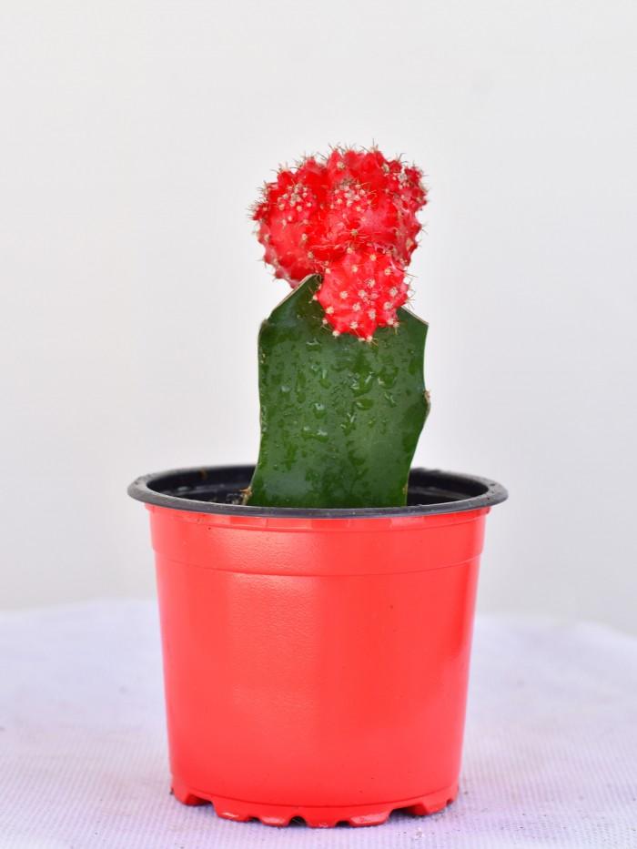 Cactus Coreano/Injerto