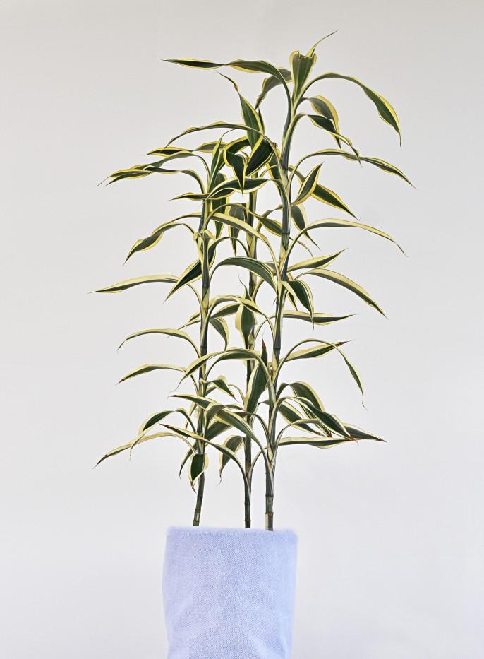 Lucky Bambu