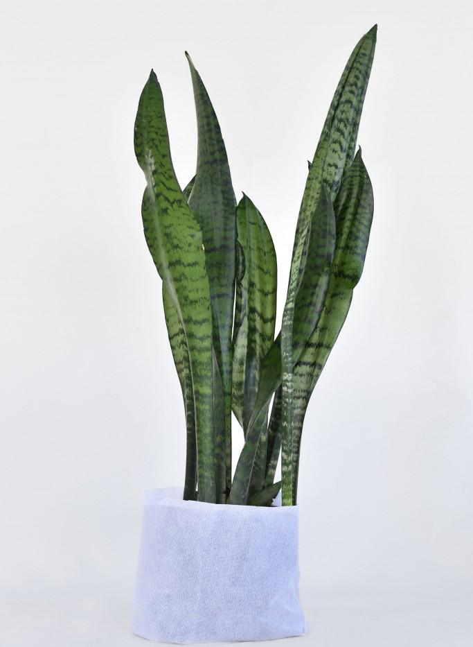 Sansiviera