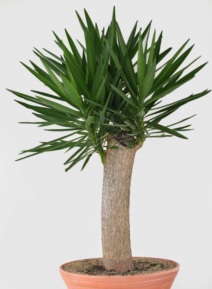 Palma Yuca