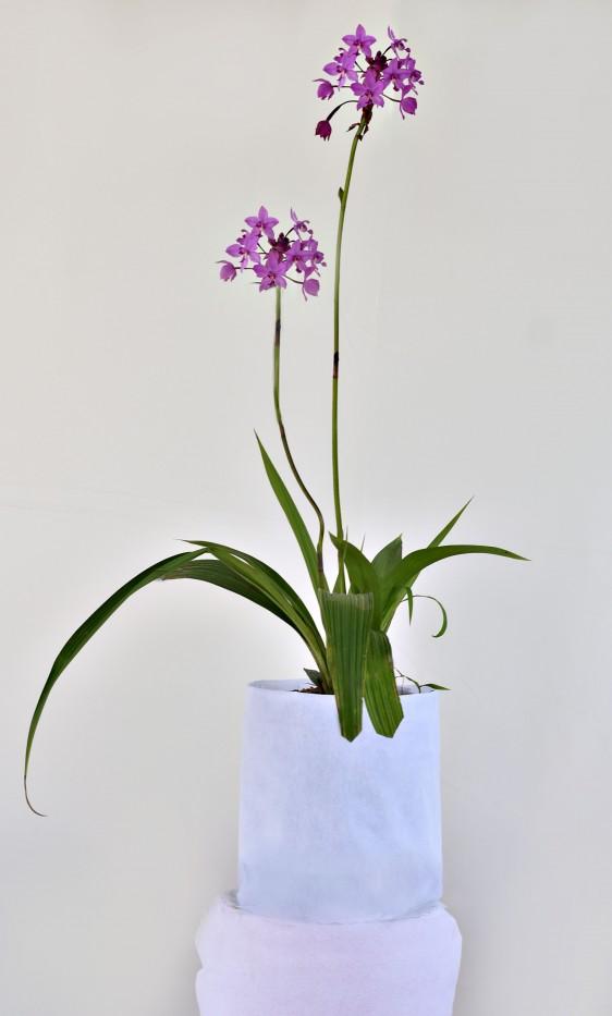 Orquidea Spathoglottis