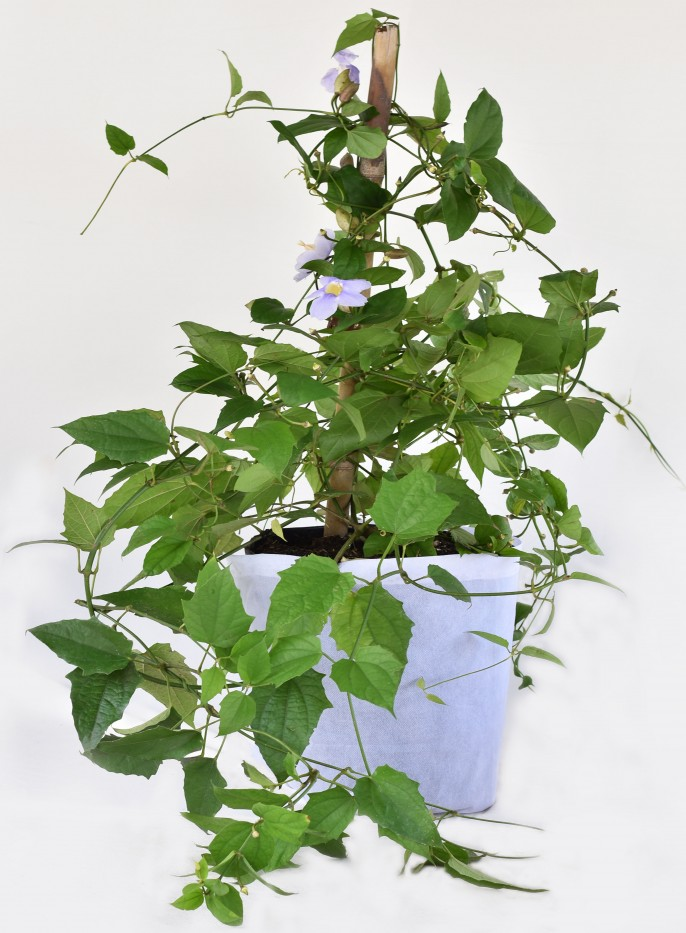 Tumbergia Lila