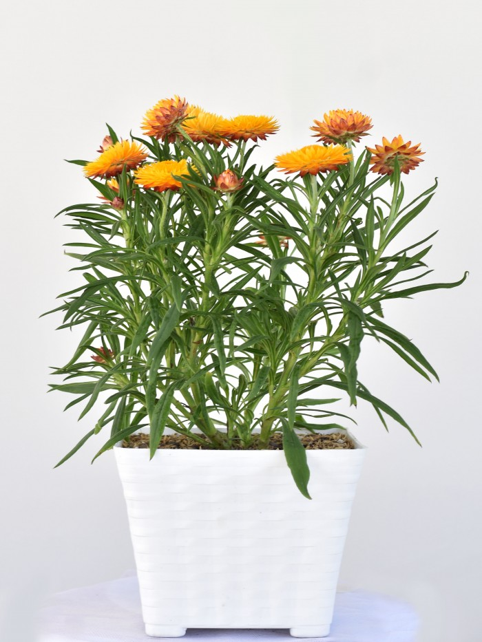 Brassianta/Flor de papel