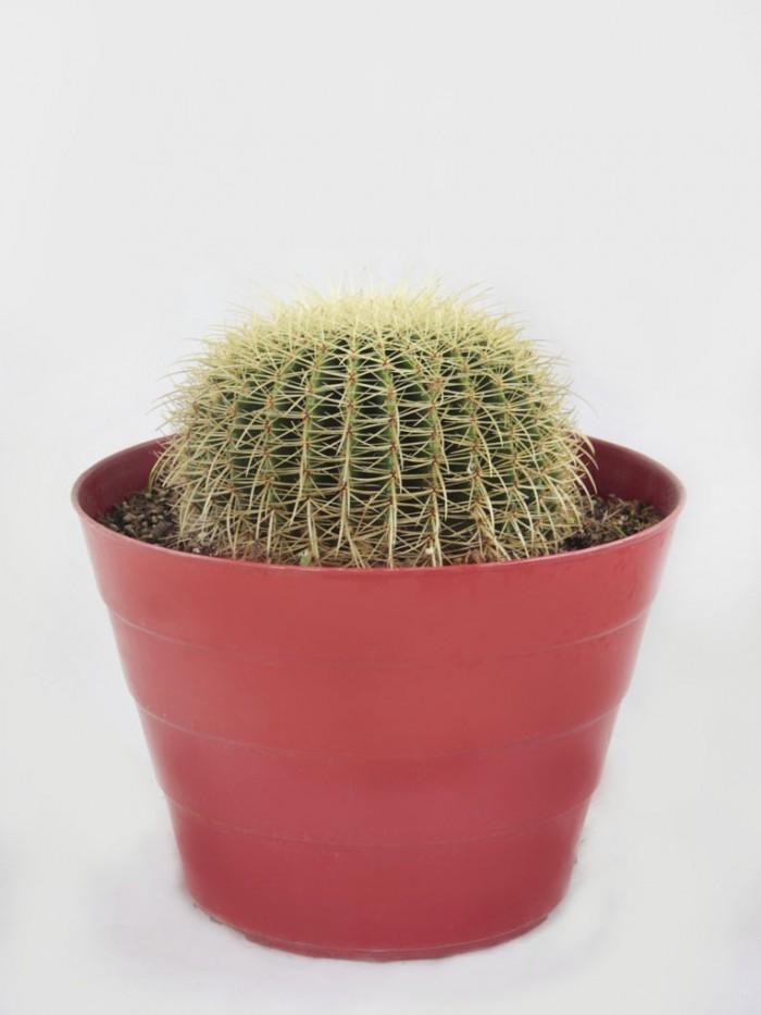 Equinocactus