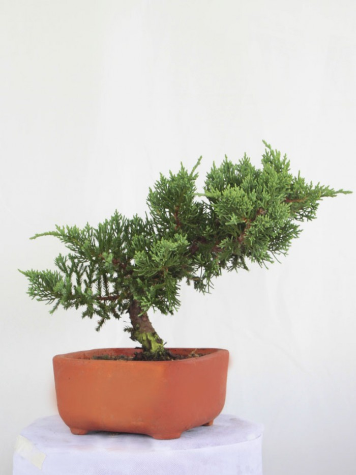 Bonsai pino San Jose