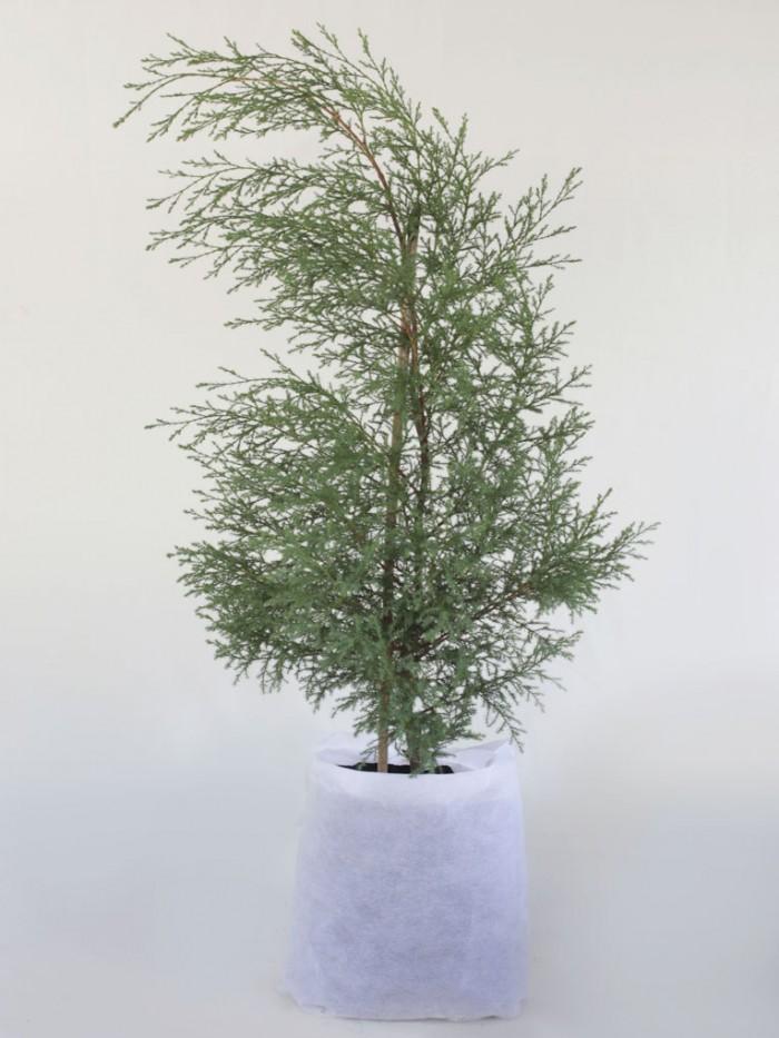 pino ciprés