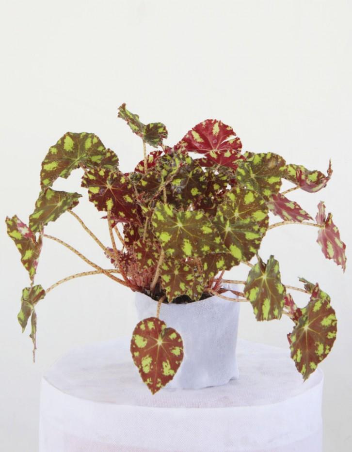 begonia bicolor