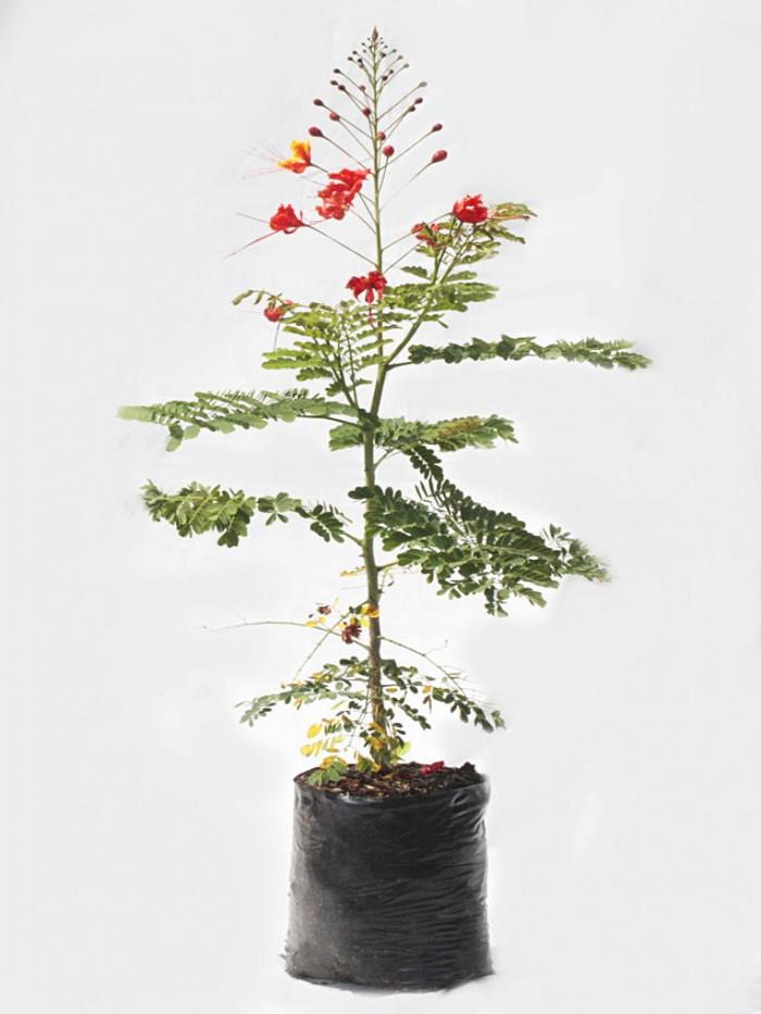Acacia clavellina