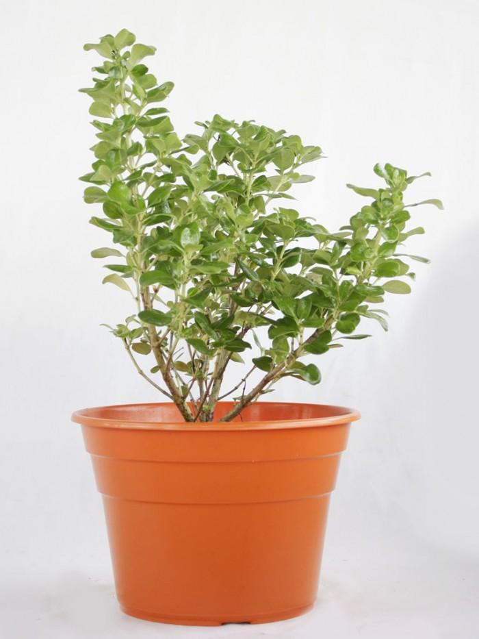 Planta Espejo