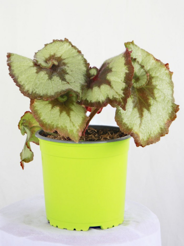 Begonia Caracol