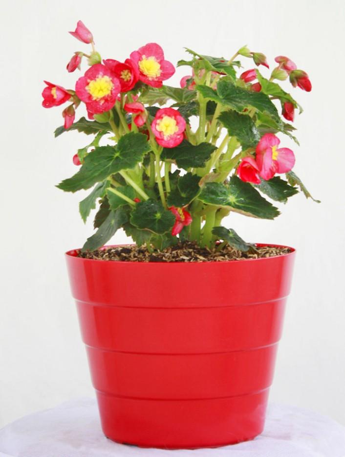 begonia latour