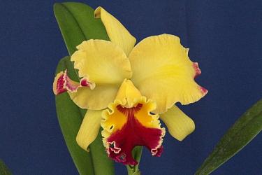 Cattleya híbrida Orquídeas Eva