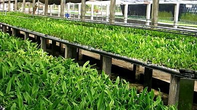 Cultivo Cattleya