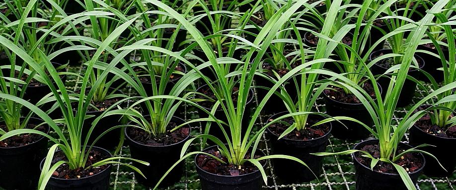 Cultivo Cymbidium