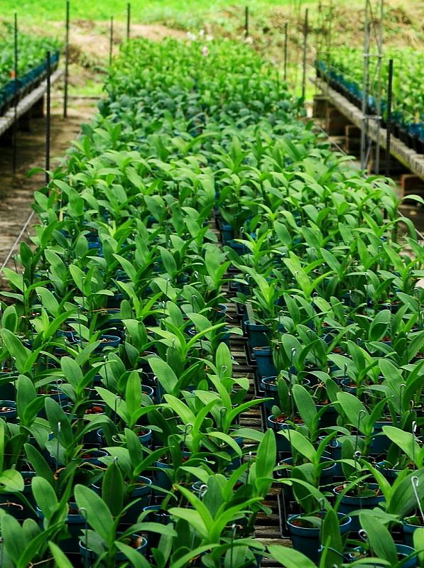 Cultivo Dendrobium