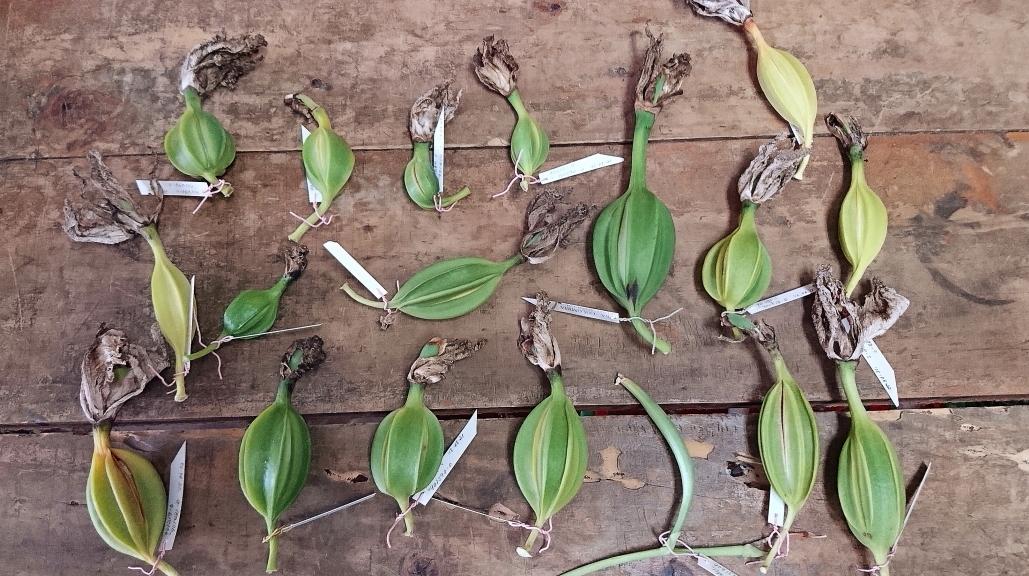 Semillas orquídeas