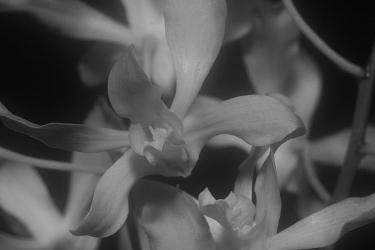 Dendrobium híbrido - Orquídeas Eva