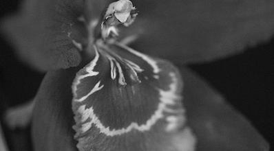 Odontoglossum obituario Orquídeas Eva
