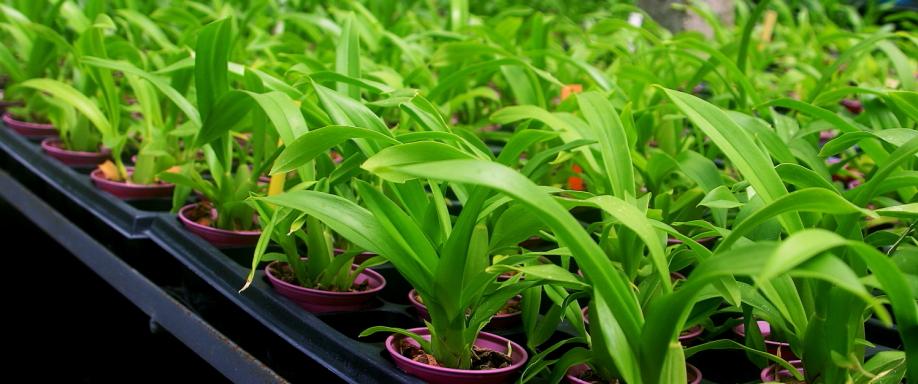 Cultivo Oncidium