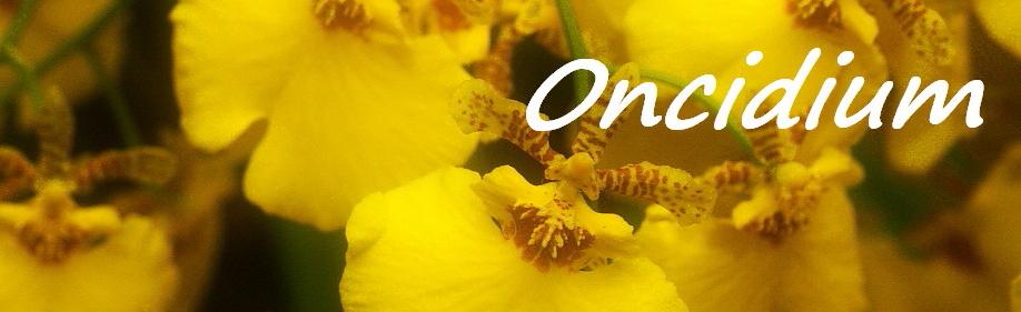 Cuidados para Oncidium