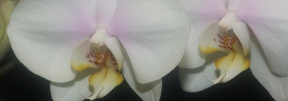 Cultivo Phalaenopsis