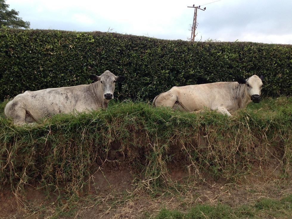 Vaca BlancoOrejinegro HATOVIEJO con cria