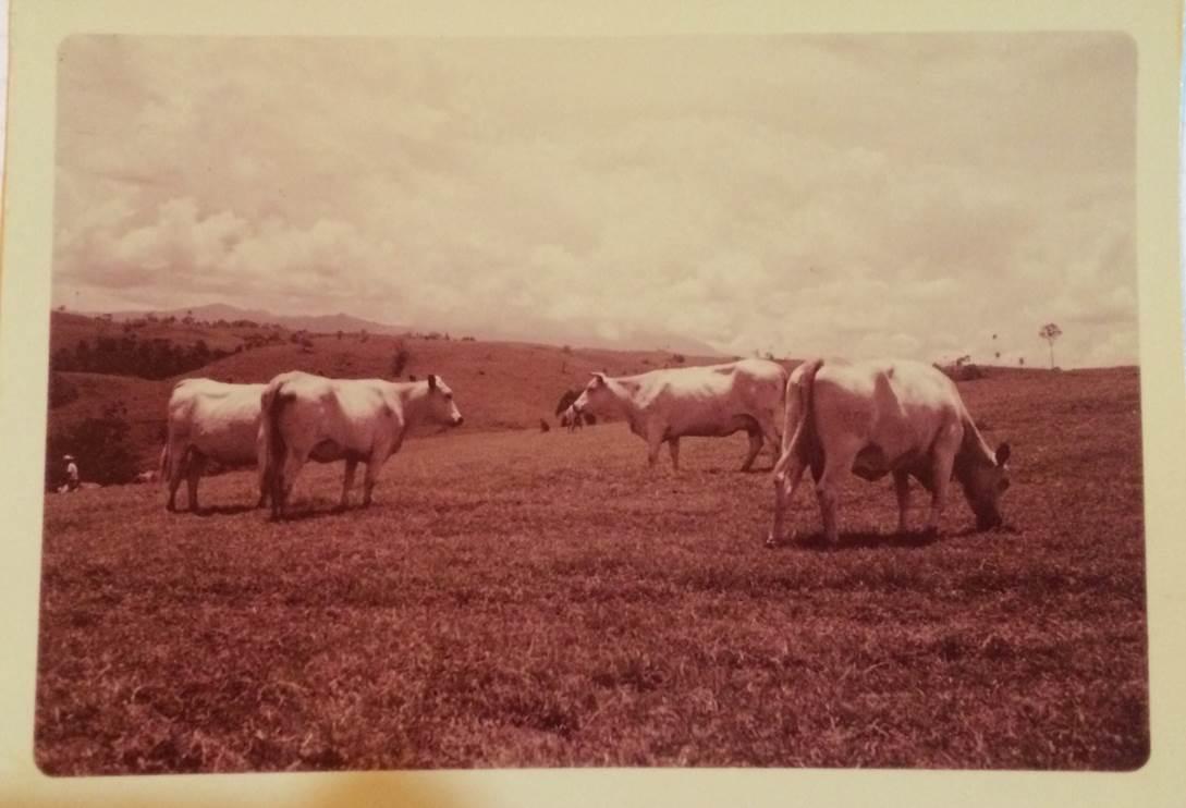 Vacas fundadoras HATOVIEJO 1954 Blanco Orejinegro